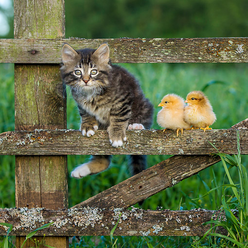 CAT 03 KH0700 01 © Kimball Stock Kitten And Baby Chicks On Old Fence