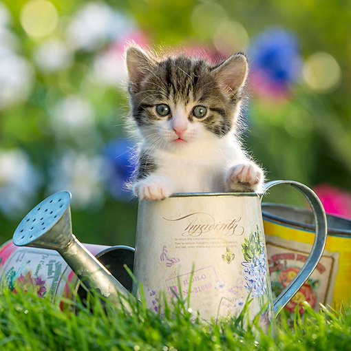 CAT 03 KH0701 01 © Kimball Stock Tabby And White Kitten In Watering Can