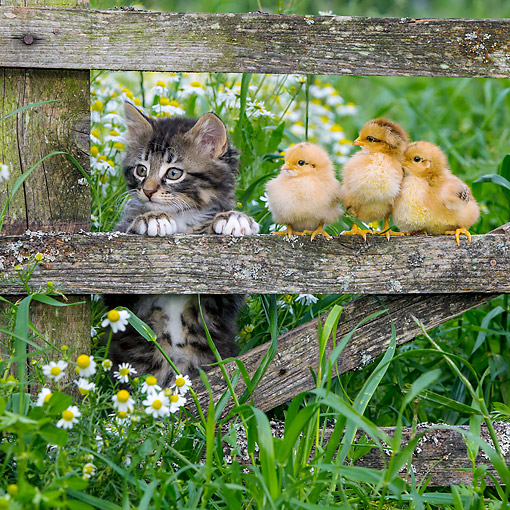 CAT 03 KH0710 01 © Kimball Stock Tabby Kitten And Baby Chicks On Fence