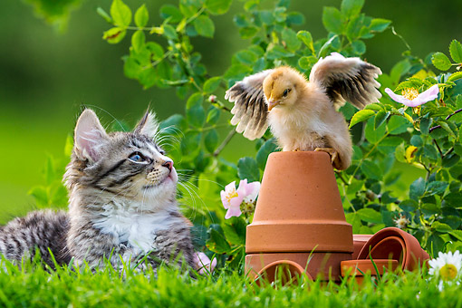 CAT 03 KH0711 01 © Kimball Stock Kitten Sitting With Chick On Pot In Grass