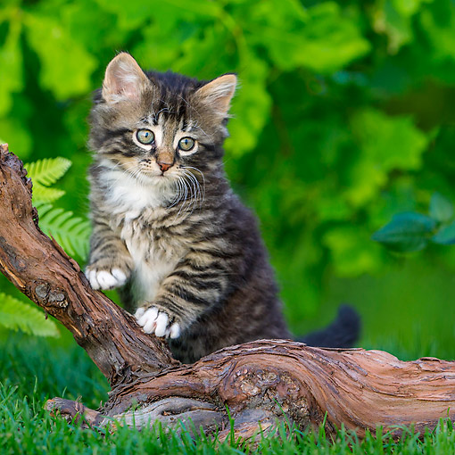 CAT 03 KH0715 01 © Kimball Stock Tabby Kitten Sitting By Root On Grass
