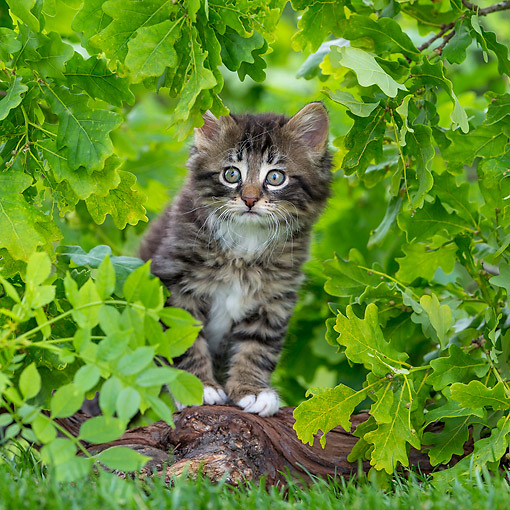 CAT 03 KH0716 01 © Kimball Stock Tabby Kitten Sitting By Root On Grass