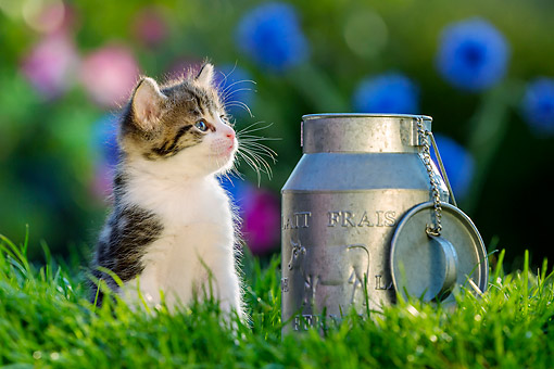 CAT 03 KH0717 01 © Kimball Stock Tabby Kitten Sitting By Milk Can