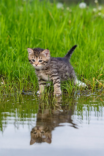CAT 03 KH0719 01 © Kimball Stock Kitten Drinking In Pond