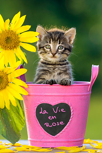 CAT 03 KH0724 01 © Kimball Stock Tabby Kitten Sitting In Flower Pot