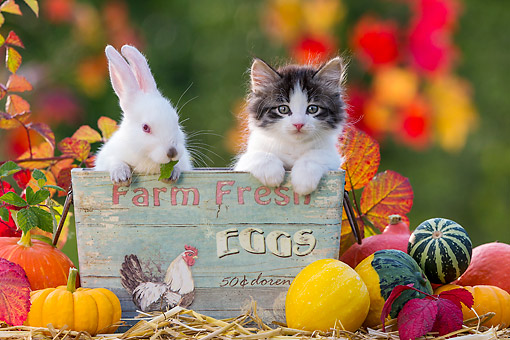 CAT 03 KH0725 01 © Kimball Stock Bunny And Kitten Sitting In Egg Basket By Pumpkins