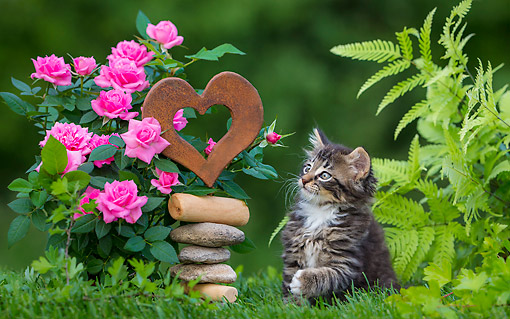 CAT 03 KH0727 01 © Kimball Stock Tabby Kitten Playing With Heart In Garden With Flowers And Fern