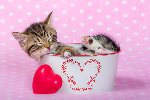CAT 03 KH0729 01 © Kimball Stock Kitten Sleeping In Heart Bucket
