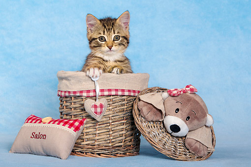 CAT 03 KH0733 01 © Kimball Stock Tabby Kitten Sitting In Basket With Teddy Bear Top