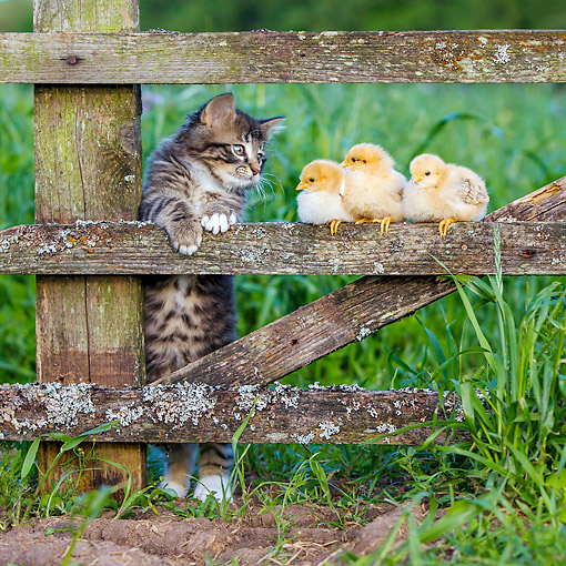 CAT 03 KH0735 01 © Kimball Stock Tabby Kitten And Baby Chicks On Fence