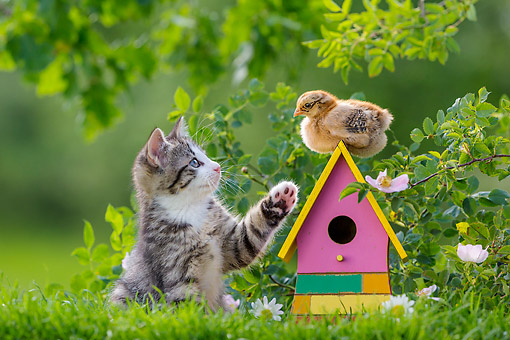 CAT 03 KH0737 01 © Kimball Stock Tabby And White Kitten Interacting With Chick On Little House