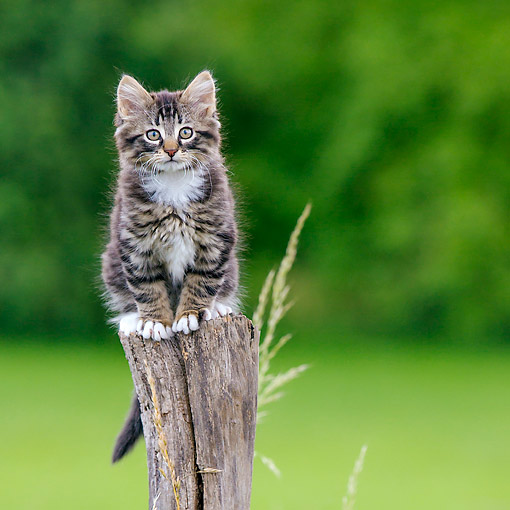 CAT 03 KH0740 01 © Kimball Stock Tabby And White Kitten Sitting On Pole In Meadow