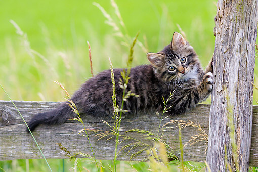 CAT 03 KH0741 01 © Kimball Stock Tabby And White Kitten Playing On Fence In Meadow