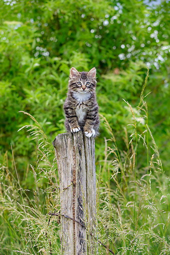 CAT 03 KH0742 01 © Kimball Stock Tabby And White Kitten Playing On Fence In Meadow