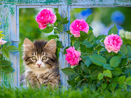 CAT 03 KH0748 01 © Kimball Stock Tabby And White Semi-Longhaired Kitten Looking Through An Old Window Frame With Roses