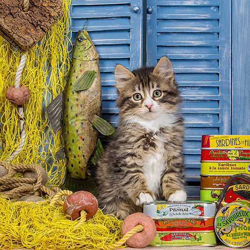 CAT 03 KH0750 01 © Kimball Stock Tabby And White Kitten Getting Into Sardines And Fishing Net
