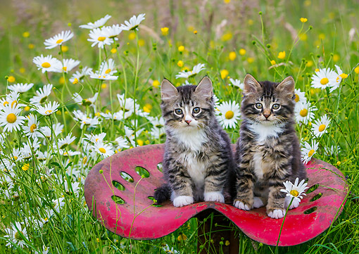 CAT 03 KH0751 01 © Kimball Stock Kittens On Old Tractor Seat In Meadow With Flowers