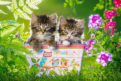 CAT 03 KH0752 01 © Kimball Stock Tabby And White Kittens Sitting In Tin Box With Ferns And Flowers