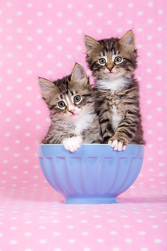CAT 03 KH0757 01 © Kimball Stock Tabby And White Kittens With Blue Bowl On Pink Blanket