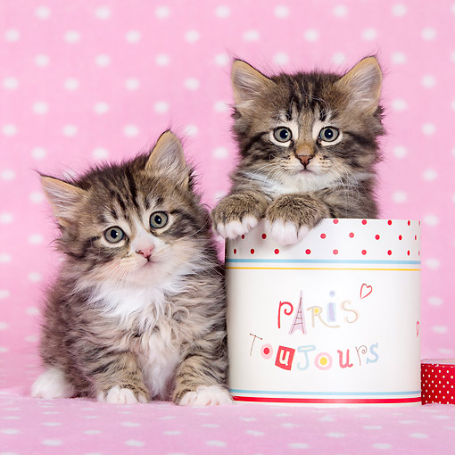 CAT 03 KH0758 01 © Kimball Stock Tabby And White Kittens With Box On Pink Blanket