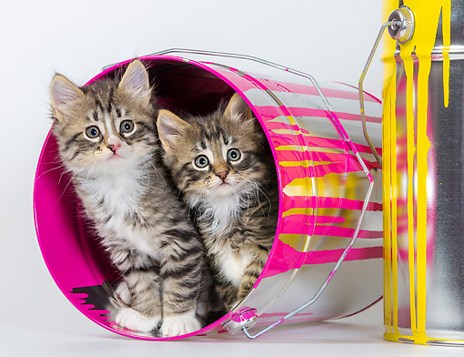 CAT 03 KH0761 01 © Kimball Stock Tabby And White Kittens In Tin Paint Cans