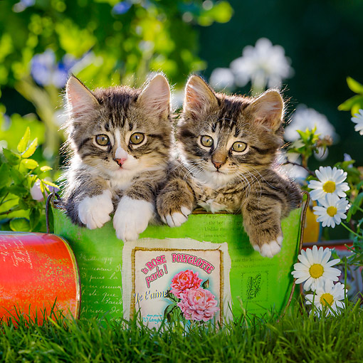 CAT 03 KH0764 01 © Kimball Stock Tabby And White Kittens Sitting In Flower Pot