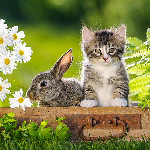 CAT 03 KH0765 01 © Kimball Stock Tabby Kitten And Bunny Sitting On Box In Grass