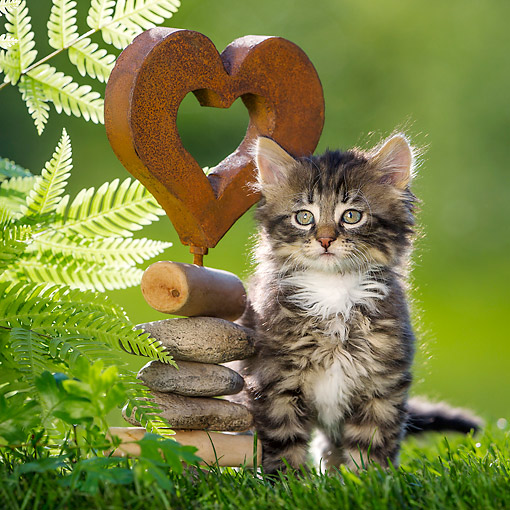 CAT 03 KH0767 01 © Kimball Stock Tabby And White Kitten Sitting Next To Heart