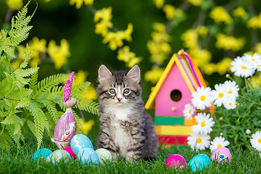 CAT 03 KH0774 01 © Kimball Stock Tabby And White Kitten Sitting In Grass With Easter Bunny And Eggs