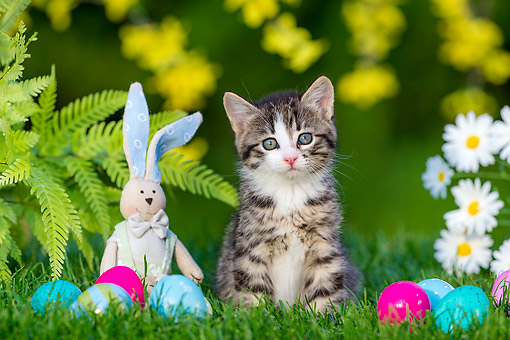 CAT 03 KH0775 01 © Kimball Stock Tabby And White Kitten Sitting In Grass With Easter Bunny And Eggs