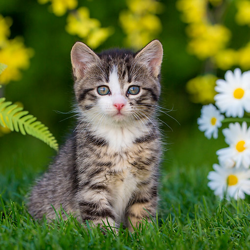 CAT 03 KH0776 01 © Kimball Stock Tabby And White Kitten Sitting In Grass With Flowers