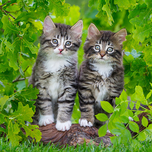 CAT 03 KH0781 01 © Kimball Stock Tabby And White Kittens Standing On Root In Grass Under Oak