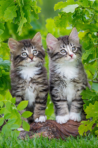 CAT 03 KH0782 01 © Kimball Stock Tabby And White Kittens Standing On Root In Grass Under Oak