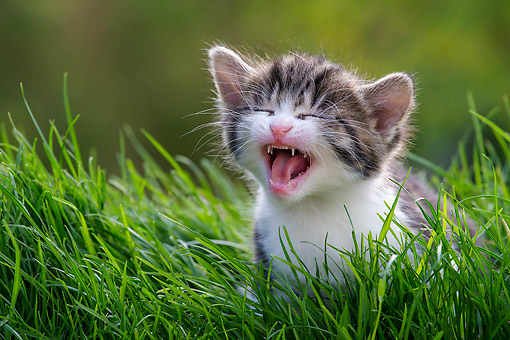CAT 03 KH0792 01 © Kimball Stock Tabby Kitten Yawning In Grass