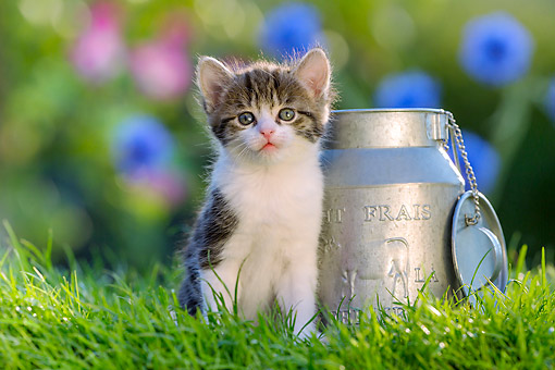 CAT 03 KH0797 01 © Kimball Stock Tabby Kitten Sitting By Milk Can In Grass