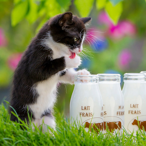 CAT 03 KH0801 01 © Kimball Stock Tuxedo Kitten Licking Milk Bottles