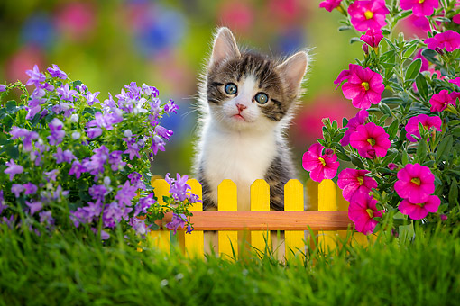 CAT 03 KH0805 01 © Kimball Stock Tabby Kitten Sitting By Fence With Flowers