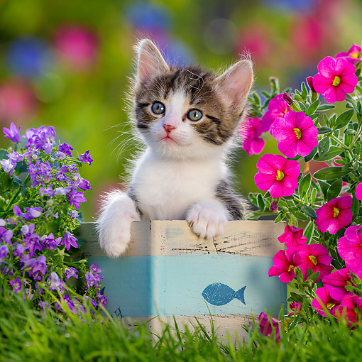 CAT 03 KH0806 01 © Kimball Stock Tabby Kitten Sitting In Box With Flowers