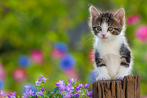 CAT 03 KH0807 01 © Kimball Stock Tabby Kitten Sitting On Fence Post With Flowers