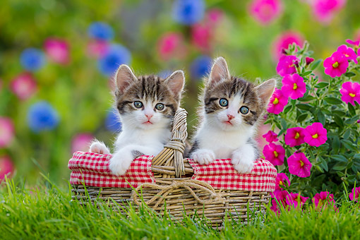 CAT 03 KH0808 01 © Kimball Stock Tabby Kittens Sitting In Basket With Flowers
