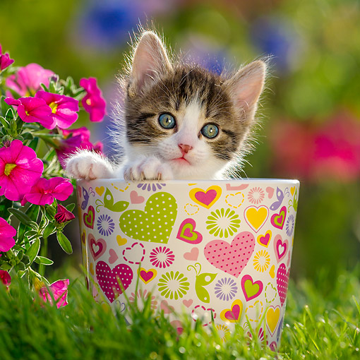 CAT 03 KH0809 01 © Kimball Stock Tabby Kitten Sitting In Cup With Flowers