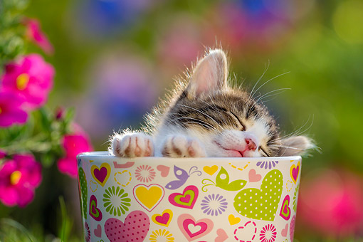 CAT 03 KH0810 01 © Kimball Stock Tabby Kitten Laying In Cup With Flowers