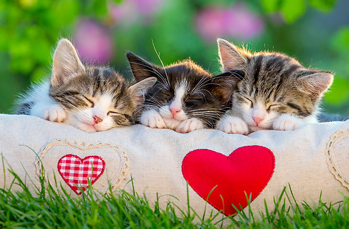 CAT 03 KH0812 01 © Kimball Stock Tabby Kittens Laying On Heart Pillow