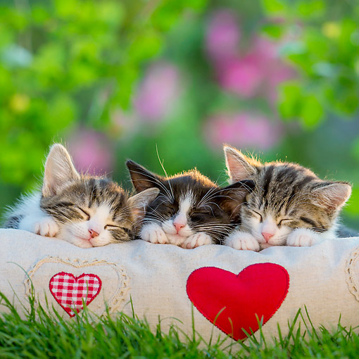 CAT 03 KH0815 01 © Kimball Stock Tabby Kittens Laying On Heart Pillow