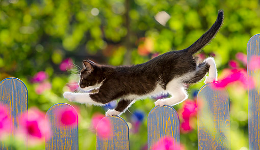 CAT 03 KH0823 01 © Kimball Stock Tuxedo Walking On Fence