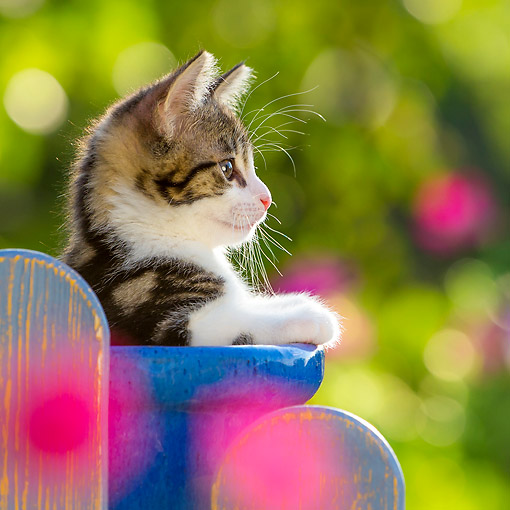 CAT 03 KH0828 01 © Kimball Stock Tabby Kitten Sitting On Pot