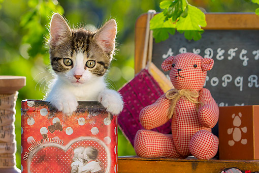 CAT 03 KH0833 01 © Kimball Stock Tabby Kitten Sitting In Can With Teddy Bear
