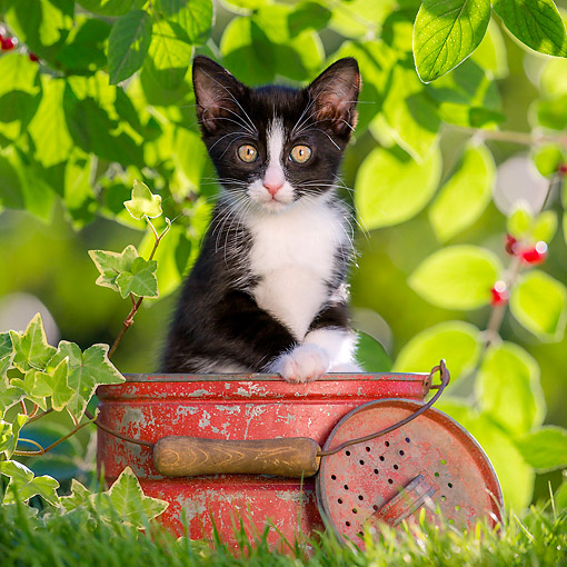 CAT 03 KH0838 01 © Kimball Stock Tuxedo Kitten Sitting In Can