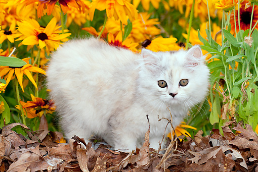 CAT 03 LS0001 01 © Kimball Stock Persian Kitten Standing In Autumn Leaves By Sunflowers