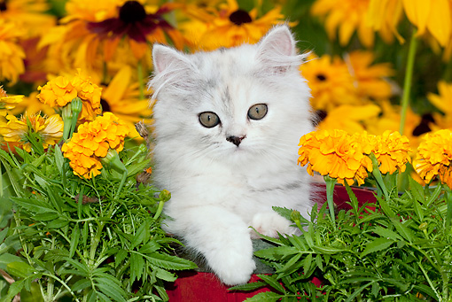 CAT 03 LS0002 01 © Kimball Stock Persian Kitten Sitting In Red Basket By Gold Flowers